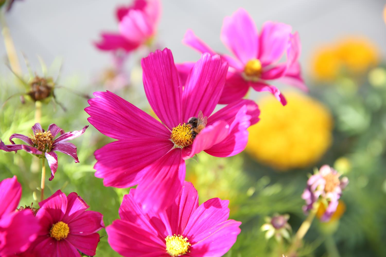 London Garden Photography Bright Pink flower with bee by MAKSAM Photography