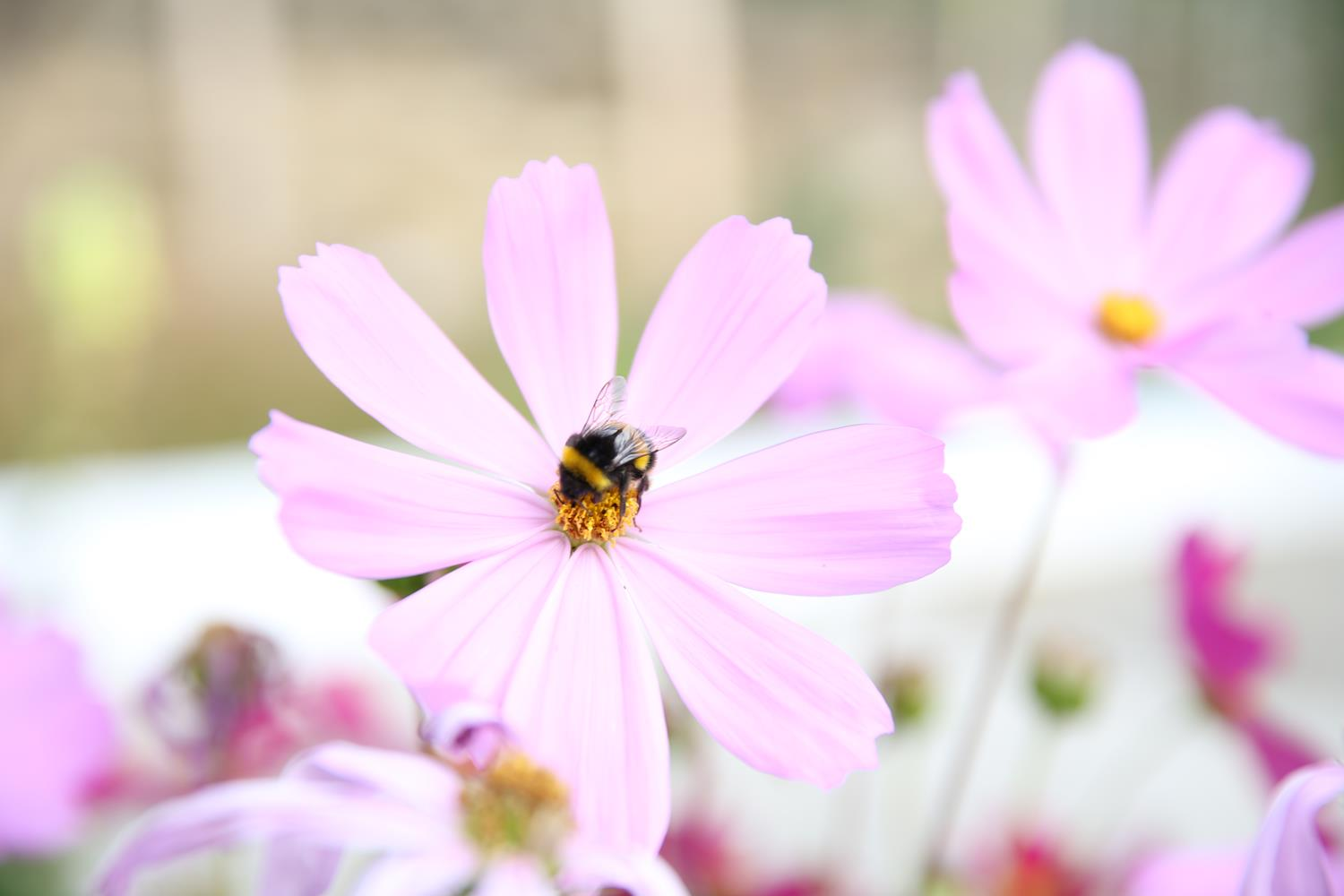 Pink Flower and Bee - London Garden Photography by MAKSAM Photography